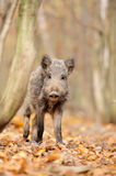 Wild boar. In autumn forest Stock Photography