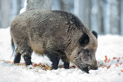 Wild boar Stock Photos