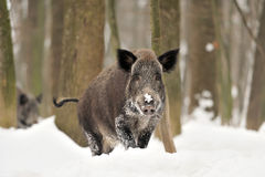 Free Wild Boar Stock Images - 29273384