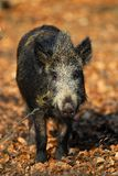 Wild boar Royalty Free Stock Photo