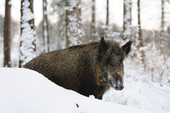 Wild-boar Royalty Free Stock Images