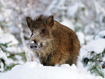 Wild-boar Royalty Free Stock Photos