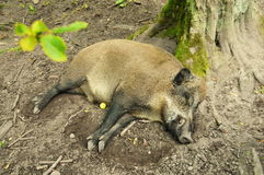 Wild boar. Sleeping under a tree stock photos
