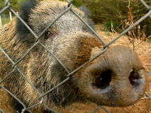 Wild boar. Olympus camedia, c8080 wide zoom royalty free stock image