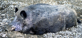Wild boar 3 Royalty Free Stock Photo