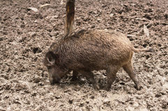 Free Wild Boar Royalty Free Stock Images - 32860599