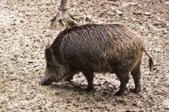 Free Wild Boar Stock Photo - 33471580