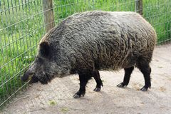 Wild boar. In the zoo Stock Photography