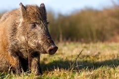 Free Wild Boar Royalty Free Stock Photos - 37134418