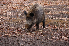 Free Wild Boar Stock Images - 40698104