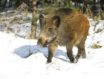 Wild boar Royalty Free Stock Images