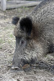The wild boar Royalty Free Stock Images