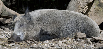 Wild boar 5 Stock Photos