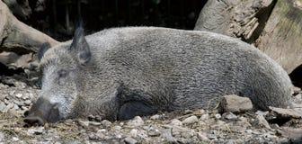 Wild boar 5 Stock Photos