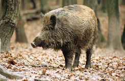 Wild-boar. Standing in the forest in autumn Stock Image
