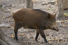 Wild boar. In the forest royalty free stock image
