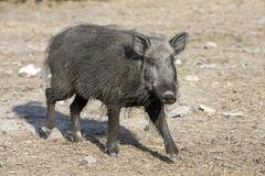 Wild boar. Out of wood from the forest royalty free stock photo
