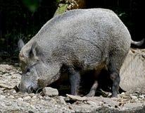 Wild boar 7 Stock Image