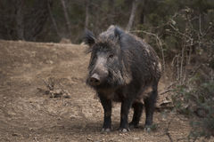 Free Wild Boar Royalty Free Stock Images - 76984629