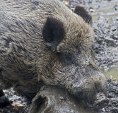 Wild boar 8 Royalty Free Stock Photo