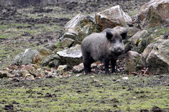 Wild boar. Wild-boar standing in the forest Royalty Free Stock Photography