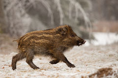 Free Wild Boar Stock Images - 90313504