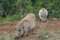 Wild Boar. Kneeling to Eat royalty free stock images