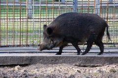 Wild boar. Also known as the wild swine stock photo