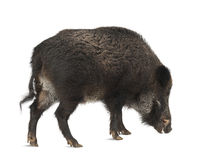 Wild boar, also wild pig, Sus scrofa Royalty Free Stock Photo