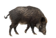 Wild boar, also wild pig, Sus scrofa Royalty Free Stock Photos