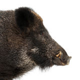 Wild boar, also wild pig, Sus scrofa Royalty Free Stock Photography