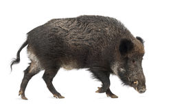 Wild boar, also wild pig, Sus scrofa Royalty Free Stock Images