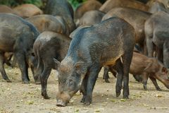 Wild boar,animal,deer in zoo. Royalty Free Stock Photos