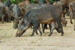 Wild boar,animal,deer in zoo. Stock Photos