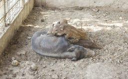 Wild boar animals Stock Image