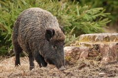 Wild boar in autumn Royalty Free Stock Photo