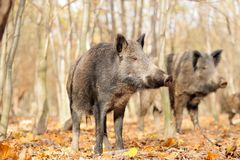 Wild boar. In autumn forest Stock Image