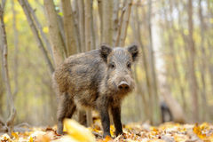 Wild boar. In autumn forest Stock Photo