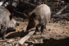 Wild boar. In autumn forest Stock Photos
