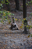 Wild boar. In autumn forest Royalty Free Stock Photos