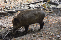 Wild boar. In autumn forest Stock Images