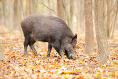 Wild boar. In autumn forest on background of blurry trees Royalty Free Stock Images
