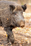 Wild boar. In autumn forest on background of blurry trees Royalty Free Stock Photography