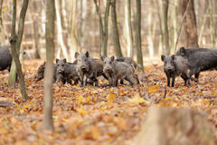 Wild boar. In autumn forest on background of blurry trees Stock Photo