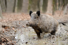 Wild boar. In autumn forest blurred background Royalty Free Stock Photo