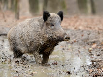 Wild boar. In autumn forest blurred background Stock Photo