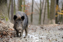 Wild boar. In autumn forest blurred background Royalty Free Stock Photos