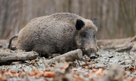 Wild boar. In autumn forest blurred background Royalty Free Stock Photography