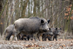Wild boar. In autumn forest blurred background Stock Photos