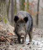 Wild boar. In autumn forest blurred background Stock Images